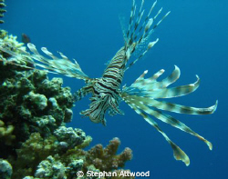 Lion fish on Abu Galaw small, Red Sea by Stephan Attwood 
